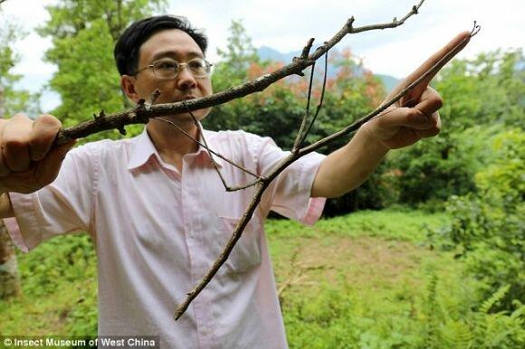 #بالصور ... متحف صيني يعرض أطول حشرة في العالم
